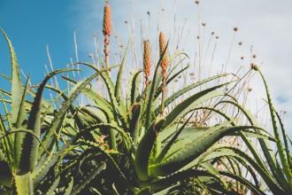 Aloe vera: piante medicinali
