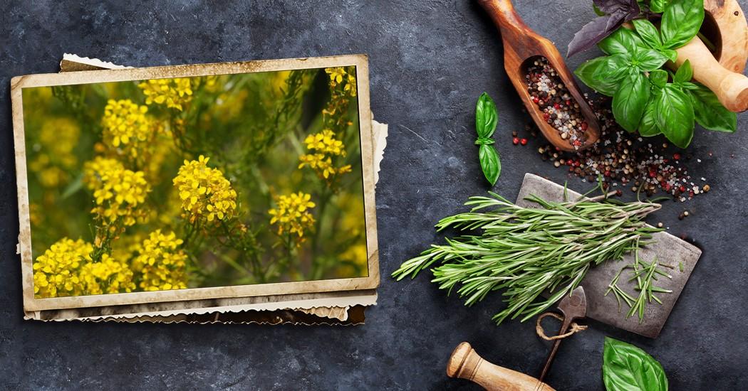 Erísimo o hierba de los cantores: plantas contra la afonía Santiveri - Erisimo o erba dei cantanti: piante contro l'afonia Santiveri