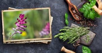 Fumaria officinalis alergia primaveral