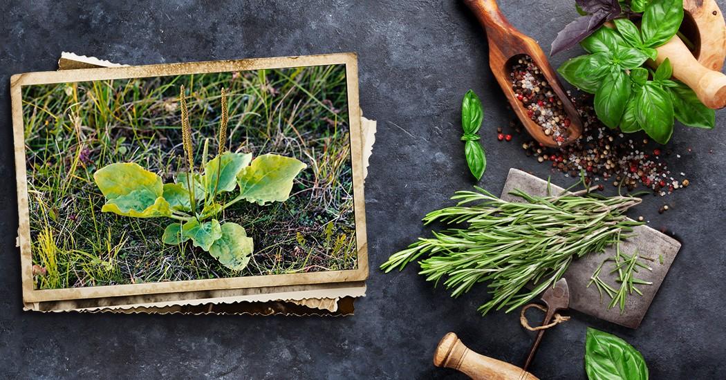 llanten piantaggine plantago major
