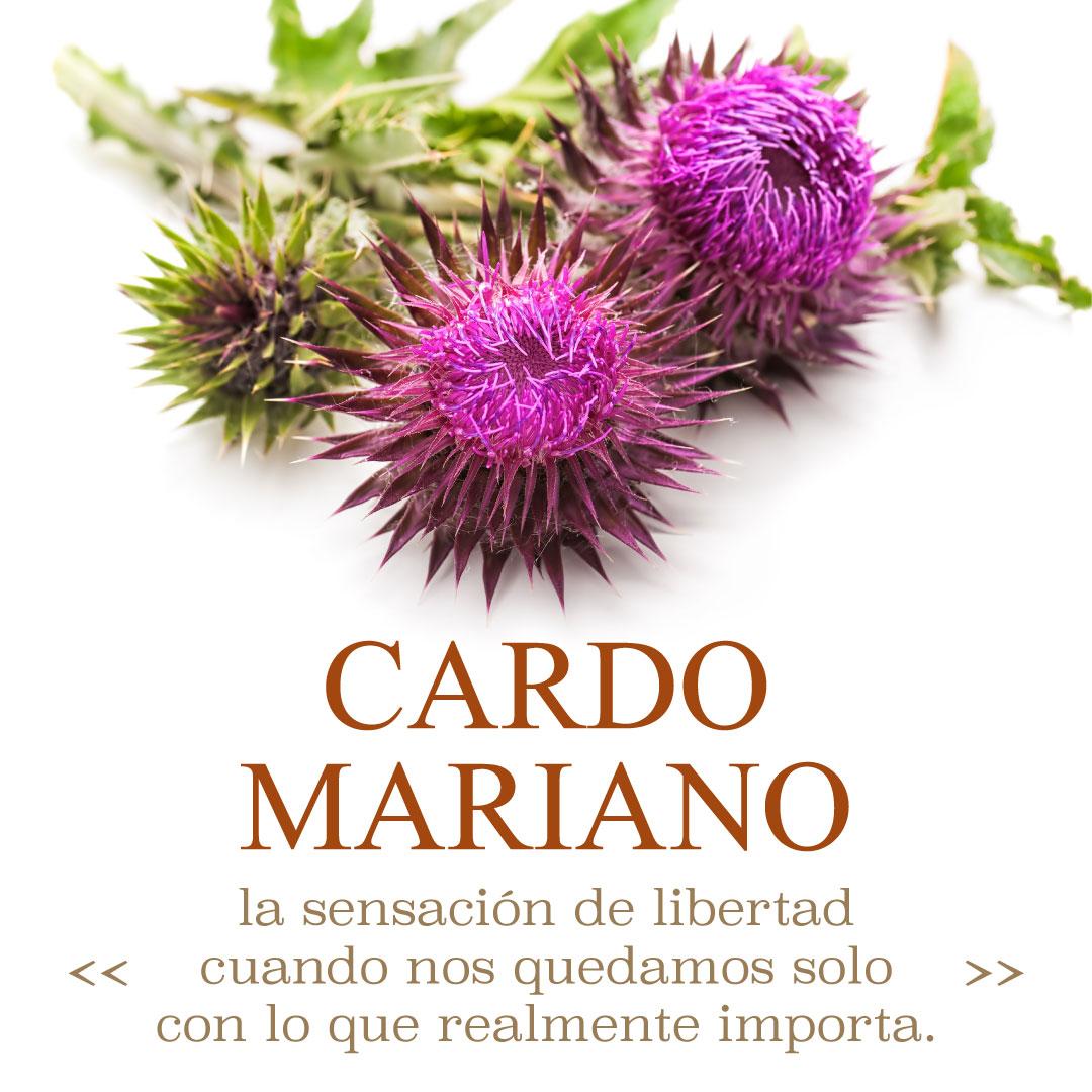 fitocultura cardo mariano