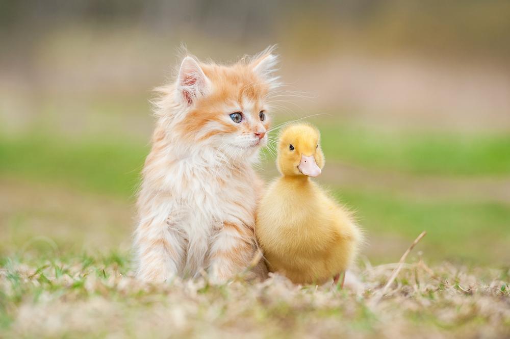 pato y gato