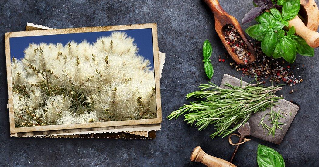aceite de árbol de té para levadura
