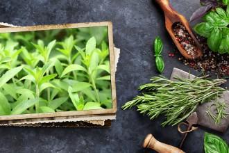 Stevia, la pianta più dolce del mondo
